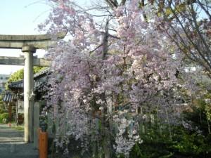 大垣城 桜